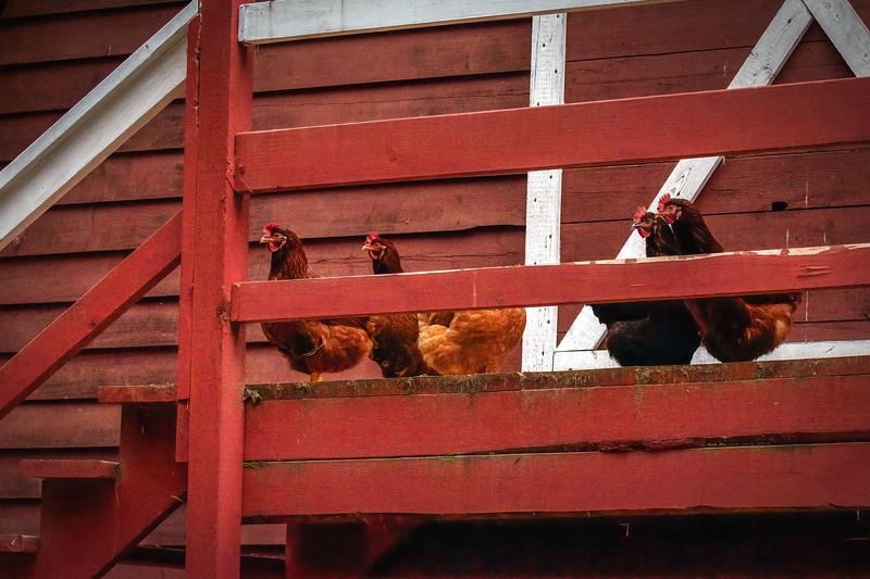 Hens on Deck