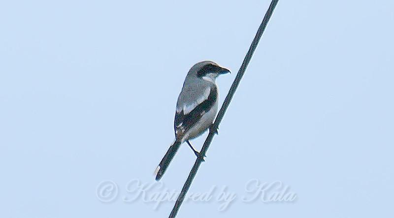 Rare Sighting Of A Loggerhead Shrike View 2