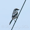 Rare Sighting Of A Loggerhead Shrike View 2