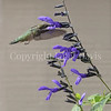 Archilochus colubris – Ruby throated hummingbird on 'Black and Blue' Hummingbird Sage 5