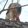 Mama Cooper's Hawk Enjoying Her Gift View 7