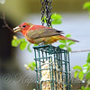 Summer Tanager With Suet On Beak