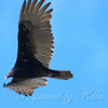 Turkey Vulture Above My Head