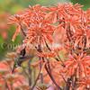 Calypte anna – Anna's hummingbird 2