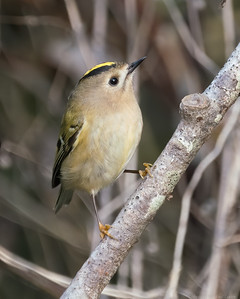 Goldcrest at Woolhampton 6 - 11th November2019