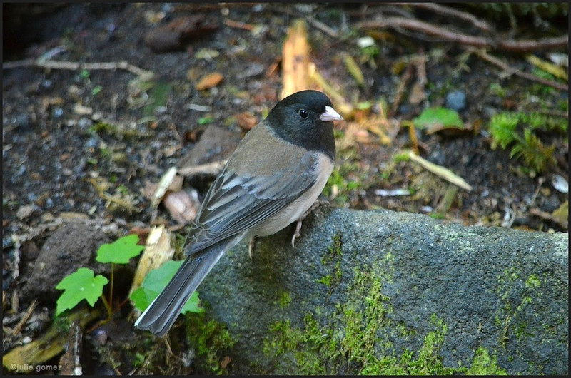 Male Dark-eyed Junco ~ Junco hyemalis