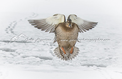 Mallard hen landing on snow and ice covered lake