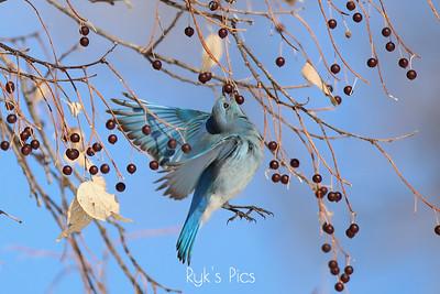 Mountain Bluebird grabbing lunch