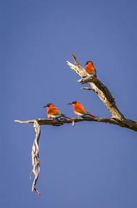 Scarlet Bee Eaters