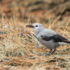 Clark's Nutcracker Ground Feeding