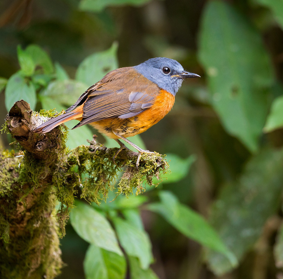 Amber Mountain Rock Thrush (Monticola sharpei erythronotus).