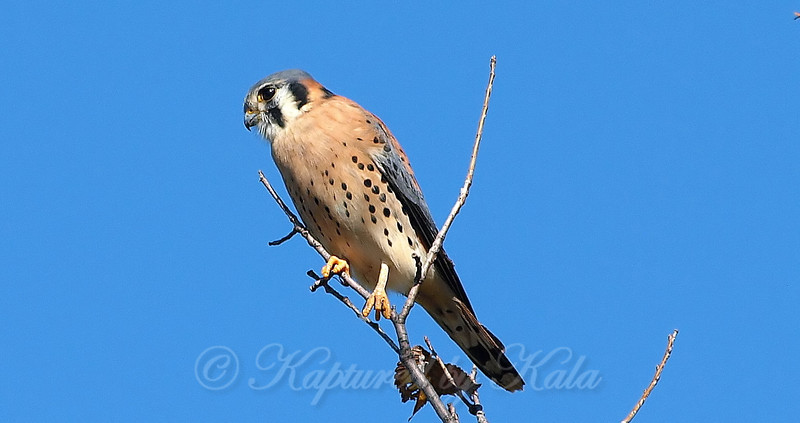 Handsome Little Kestrel