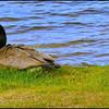 Canada Goose ~ Branta canadensis