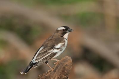 White-browed Sparrow-weaver, Samburu, Africa.