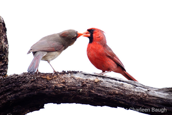 Cardinals Courting MG6920-4172009