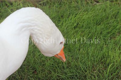Anser anser domesticus - Domestic goose