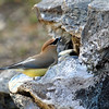 Cedar Waxwing Getting a Drink at my Fountain