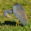 Tri-colored Heron preens its feathers.