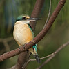 Sacred Kingfisher, Gold Coast. Qld.