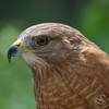 Red-Tail Hawk Bird