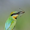 Rainbow Bee-eater with a Cicada, Federation Walk, Gold Coast, Queensland.