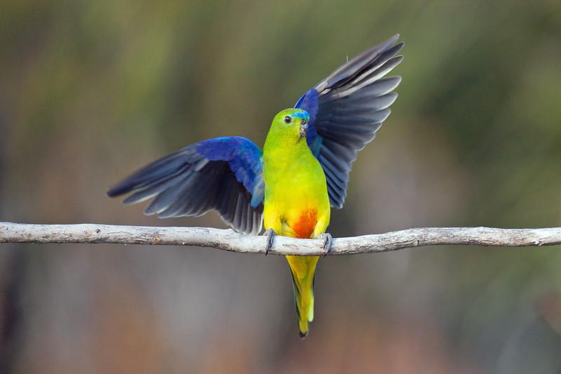 Orange-bellied Parrot landing