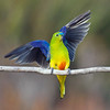 Orange-bellied Parrot landing