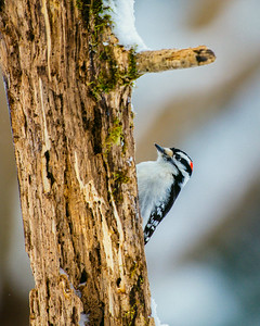 Downy Woodpecker, Dryobates pubescens