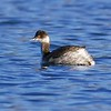 Black Necked Grebe 3 - Newbury
