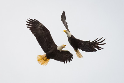 Bald Eagles Courting Spiral