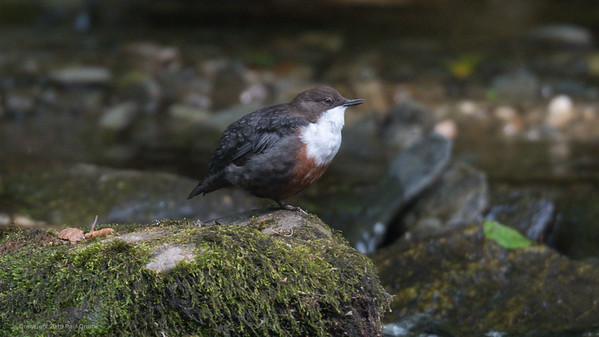 First sighting - Dipper in the River Wye 10 - Rhayader 2019
