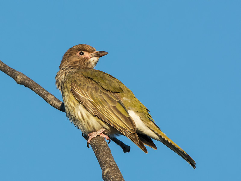 Australasian Female Figbird,Federation Walk Coastal Reserve, Gold Coast, Queensland.