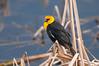 Yellowheaded Blackbird, Xanthocephalus xanthocephalus
