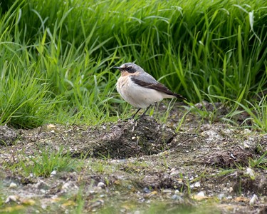 Wheatear at Compton May 1st 2018 a