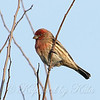 Male House Finch #1 View 1