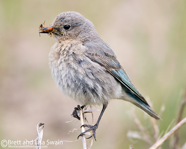 Female Mountain Bluebird with Food