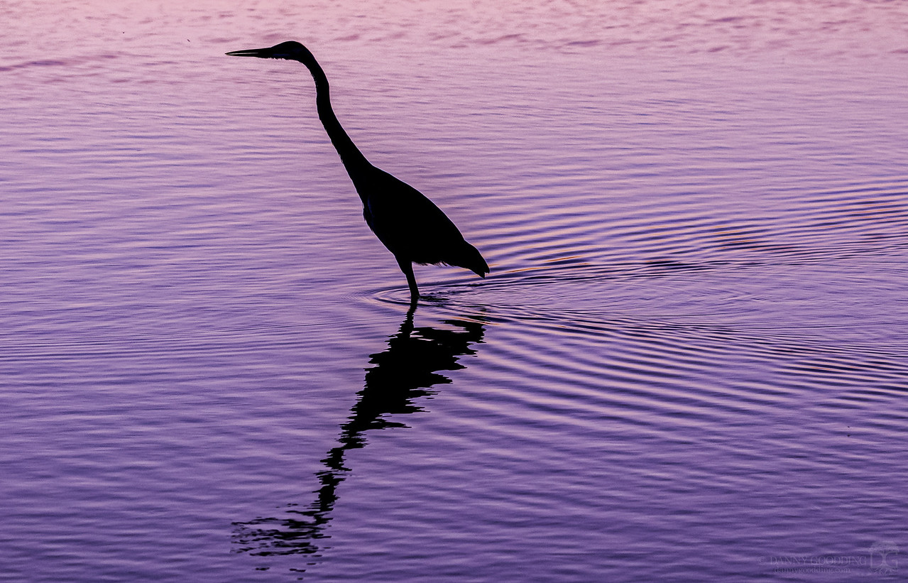 Great blue heron silhouette after sunset [OC] [1280x822]