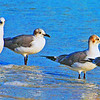 GROUP OF LAUGHING GULLS  ON THE TAMPA BAY SHORELINE.