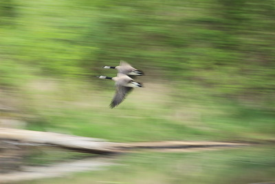 Canada Geese in Motion
