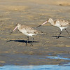 Whimbrel, The Broadwater, Gold Coast, QLD, Australia.