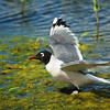 Franklin's Gull - Whitewater Lake, Manitoba
