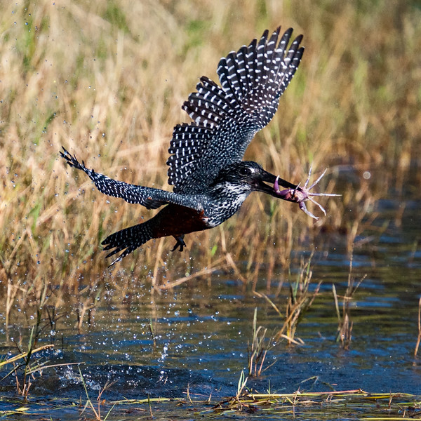 Giant Kingfisher with Crab #1