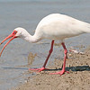 White Ibis feeds on a crab on Fort Myers Beach.