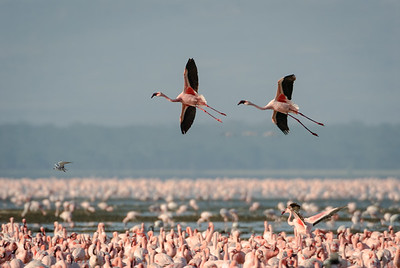 Lake Nikuru, Africa.