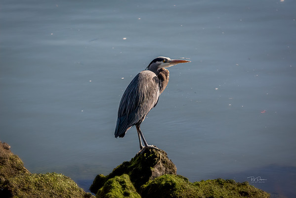 Heron on Rock