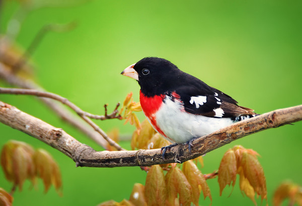 Rose-breasted Grosbeak - Springhill, Nova Scotia