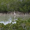 Ardea herodias occidentalis – Great white heron 5