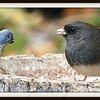 Dark Eyed Junco Having a Meal With a Friend