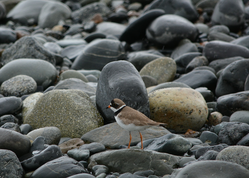 Semipalmated Plover, Homer Spit, Alaska