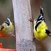 Some Male Goldfinches Get Their Color Quicker Than Others